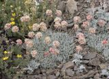 Cushion buckwheat  Eriogonum ovalifolium
