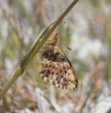 Arctic fritillary  Boloria chariclea