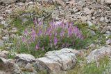 Hedysarum occidentale  Western sweet-vetch