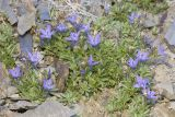 Olympic Mountain harebell  Campanula piperi