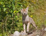 Coyote pup (wild)