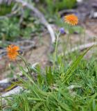 Agoseris aurantiaca  Orange agoseris