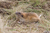 Mazama pocket gopher