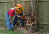 SOME FINAL, DELICATE CUTS BEFORE FELLING THE TREE