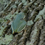 A SMALL TEXAS TREE FROG, CLIMBING HIGHER TO ESCAPE THE CHAIN SAWS