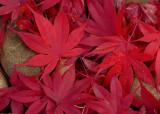 RED LEAVES - ISO 80