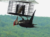 PILEATED WOODPECKER  -  ISO 800  -  300MM FOCAL LENGTH