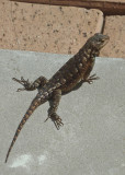 FENCE LIZARD  -  ISO 80  -  EXTENDED MACRO ZOOM (535mm)