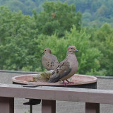 OUR RESIDENT DOVES  -  ISO 200