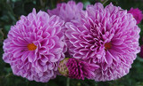 ANTS ON FLOWERS  -  ISO 400  -  HAND-HELD