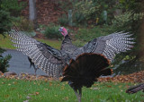 LARGE TURKEY  -  ISO 3200  -  TAKEN WITH A SONY 18-200mm E-MOUNT LENS