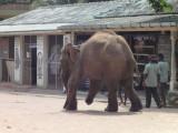 3 legged elephant..mine victim