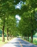 Metasequoia 1.jpg