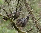 Turkey Hens in a Walnut Tree