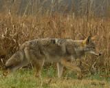 Coyote on Point