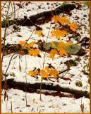 Maple Sapling in Snow