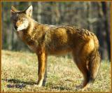 Coyote In Cades Cove