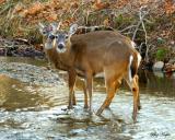 Two Bucks Crossing a Stream