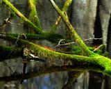 Sporangium in an Interesting Swamp - Cades Cove