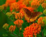 Fritillary on Butterfly Weed