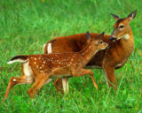 Fawn with Mother