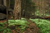 A Phacelia Lined Trail