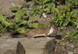 Wee Stoat