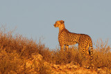 Various cheetah sightings