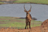 Chobe Buck 1.jpg