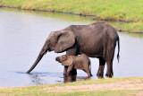 Chobe Elephant 1.jpg