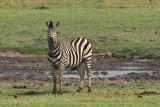 Chobe Zebra 1.jpg
