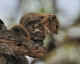 Baby Squirrel 2.