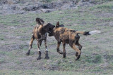 Wild Dogs Fighting