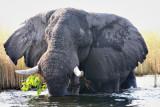 Xakanaxa elephant not happy