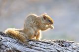 Savute Squirrel.jpg