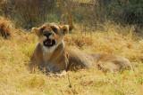Kwai Lion 3.