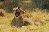 Kwai Lion 2.