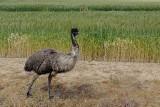 Emu in wheat field