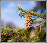 Just a Pine Cone from a Pine Tree