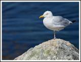 One Leg Gull at Peggy's Cove