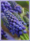 Poppin BlueBells of Spring