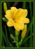 Pure Yellow Tiger Lilly Growing Wild