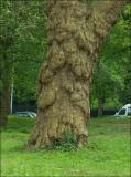 Vieil arbre du Bois de Boulogne.