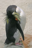 Simon's Town, Jackass penguin
