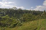 ubud, Bali.  rice terraces