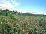 cotton plants.JPG