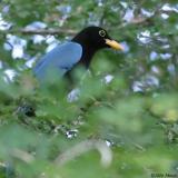 Yucatan Jay - juvenile