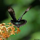 Raja Brooke's birdwing - female