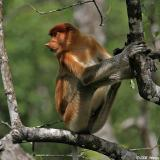 Proboscis Monkey - juvenile male