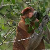 Proboscis Monkey - dominant male